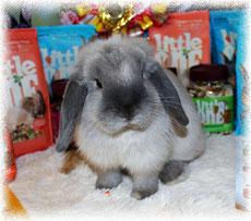 карликовый-кролик-nhd