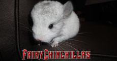 FairyChinchillas