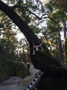 これが有名な子宝の木。