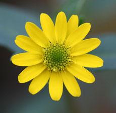 fiore simmetria dei petali e nucleo centrale