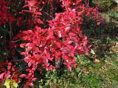 ブルーベリーも鮮やかに紅葉