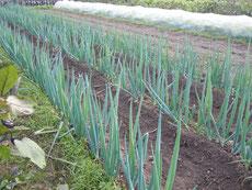 ネギ 定植が10月上旬になってしまいましたがうまく根付きました