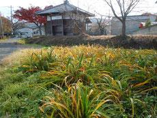 何度かの霜を受けヘメロカリスの葉も黄葉!