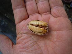 殻は薄く、割ると実がぎっしり詰まっています