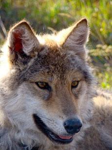 Loup en Mongolie