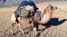 Momeau le chameau parfois colérique !!!