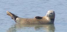 Réservez votre sortie nature découverte des phoques en Baie de Somme avec Découvrons la Baie de Somme