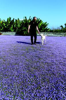 愛犬とともに青紫色のじゅうたんのようなヒメキランソウが満開する庭を歩く田盛さん=29日午後、大浜の田盛さん宅