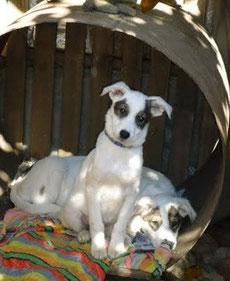 Hunde in der Island of Hopre von HAR