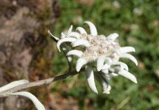 Edelweiss dans notre jardin