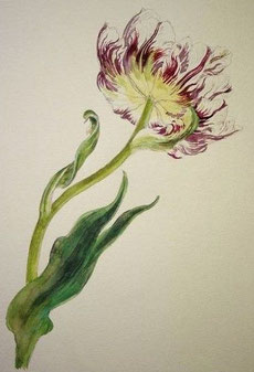 Tulip, Pencil drawing, Watercolor painting