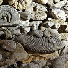 Ammoniten gehören zu den schönsten und bekanntesten Fossilien (Versteinerungen). Die Fundstellen in der Fränkischen Schweiz zählen zu den berühmtesten in Deutschland. Man findet sie direkt vor dem Landgasthof Bieger!