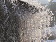 Raureif an einer Pflanze, die von einem Schuppen herunterhängt (Osterwaal)