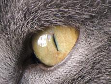 Auge meines Katers