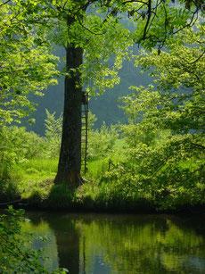 Baum mit Jägersitz an der Amper (bei Haimhausen, Lkr. DAH)