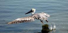 vom Wasser aus startender großer Vogel (Long Beach, USA)