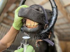 Zahnbehandlung beim Pferd, Pferdezahnarzt, Brandenburg