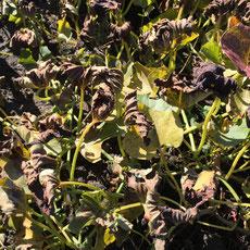 Die Blätter werden welk - ein Zeichen für Reife Süßkartoffeln
