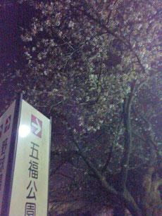 五福公園の桜