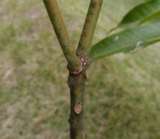 炭疽病の可能性 キンコウマンゴー