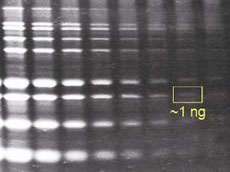 Figure 2. 1-D gel stained with Maximo-Gel juice.