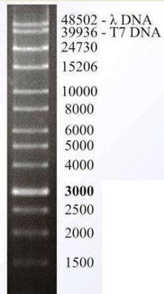 wide range DNA Leiter, Größenmarker XXL
