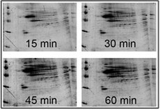 Figure 4. Fast detection of proteins on 2-D gel stained with Maximo-Gel juice at room temperature
