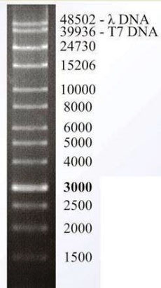 dna leiter large range, DNA marker