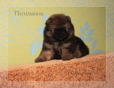 Pomeranian male 2