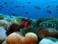 石垣島名蔵湾の巨大コモンシコロサンゴとハマクマノミ