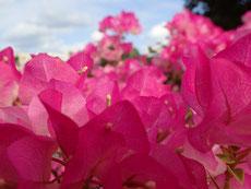 石垣島の十六日祭