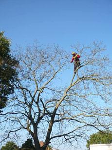 Baumkletterer mit Seilklettertechnik bei der Baumpflege