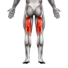 leg muscle upper leg