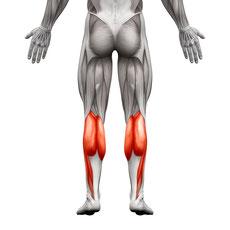 leg muscle lower leg