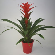 Guzmania Amoretto in rode keramiek pot