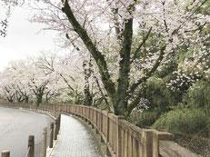 犬山城周辺の桜