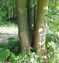 Baum wächst durch Zaun Gewaltfreie Kommunikation Reiss Profile
