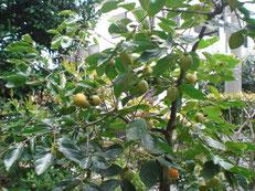 柿は直径40cmの鉢で育てているが、