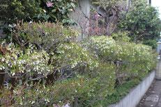 毎年、紫陽花が花ガラを摘んで手入れしている