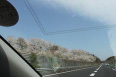 桜が満開で思わずパチリ!(紫陽花が運転中)