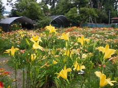 2012年 開園中のヘメロカリス園の様子
