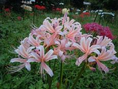 微かに青味の乗ったピンク花(試作品)