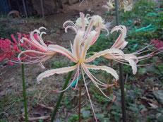 細弁のクリーム花