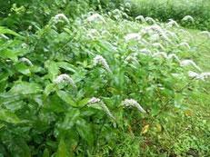 オカトラノウの花畑