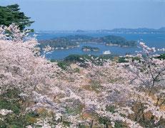 松島町 松島湾の桜