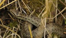 Schlingnatter (Coronella austriaca)