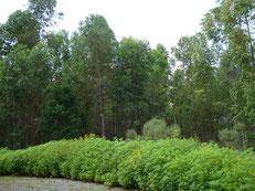 2013年4月。すっかり木らしく成長したユーカリの木。