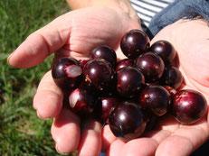 植えて9年目に実ったジャブチカバの実。ぶどうのように甘くて美味しい実です。