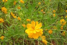 黄色コスモスを植栽。