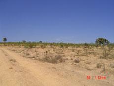 土地購入当時、養蜂園入口付近はまばらにアレクリンが生えた、砂漠のような原っぱでした。